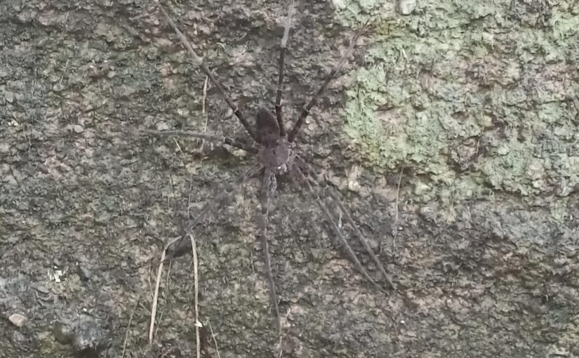 Water spider at Dick's Creek – 14.10.2021