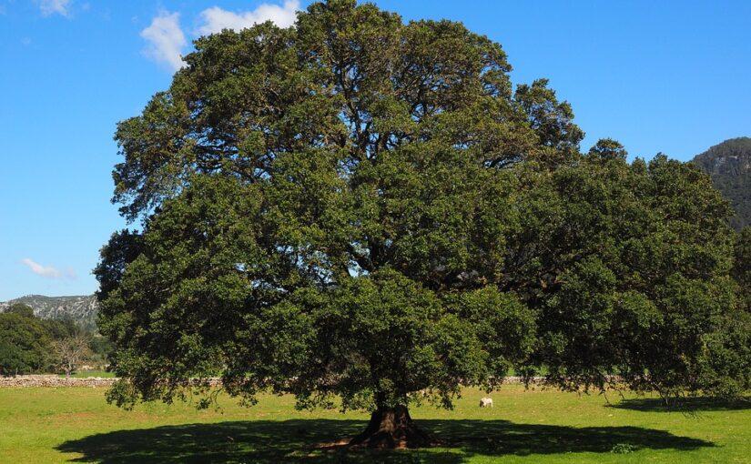 Evils of Camphor laurel (Cinnamomum camphora)